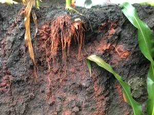 corn-root-system-300x224
